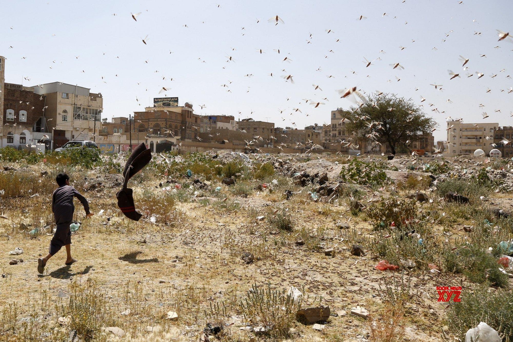 YEMEN - SANAA - DESERT LOCUSTS #Gallery